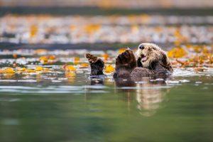 Sea otter, James Thompson